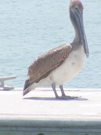 http://www.picturesfrom.com/fort-myers-beach/lovers-key-pelican-1.jpg